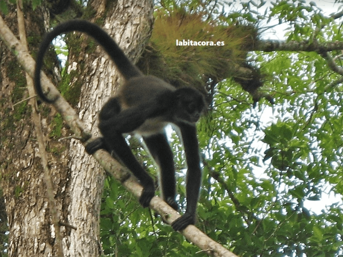 Mono araña y aullador en Tikal